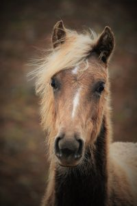 Rocky Mountain Horse Foal. Photo Credit Toril Strooper.
