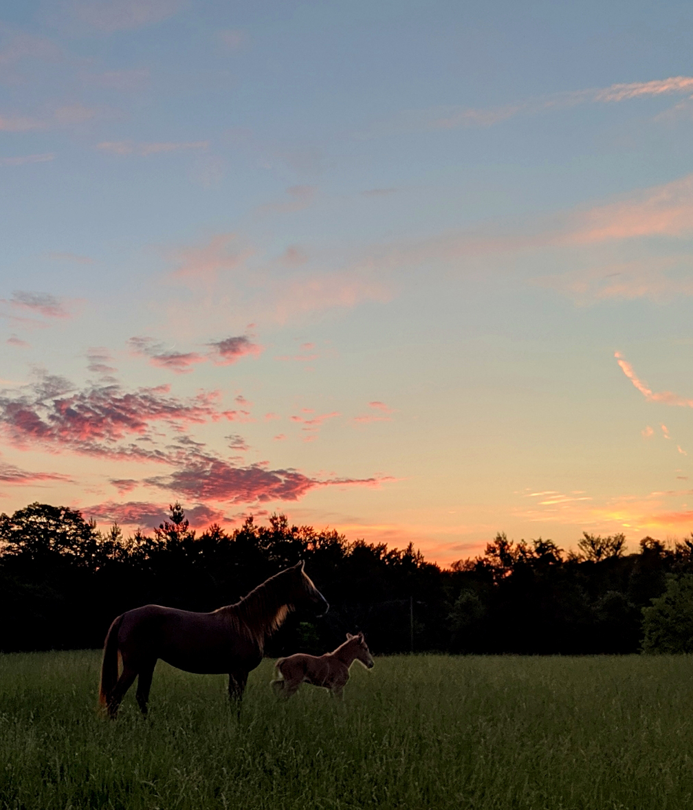 Rocky Mountain Horse mare and foal at sunset. Photo credit Melissa Walters